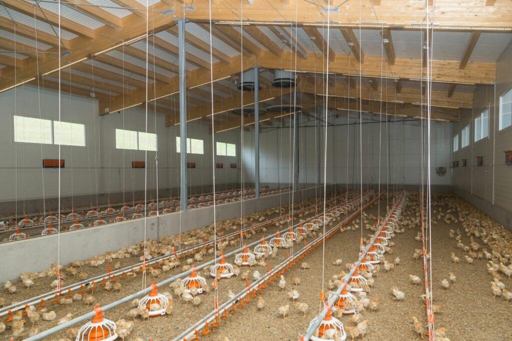 Bis zu 9600 Bio-Küken im Vormaststall mit Flächenheizung